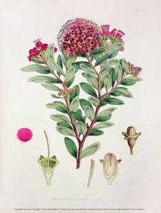 Flowers, fruit and foliage: a bouquet of botanical illustrations from the Sir George Grey Special Collections