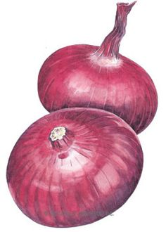"""70 days. This Italian heirloom has been available to gardeners since the late 1800s but is hard to find in stores. A gourmet """"cipollini"""" (meaning """"little onion"""" in Italian) type, the beautiful, flattened red globes are 1"""" high by 2"""" - 3"""" in diameter. Their sweet flavor is delicious fresh or cooked — perfect for roasting and grilled kebabs."""