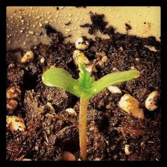 feminized marijuana seeds  http://www.growingmarijuanaebook.com/