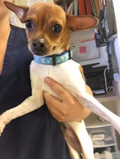 Tazzy is an adoptable Chihuahua searching for a forever family near Fort Myers, FL. Use Petfinder to find adoptable pets in your area.