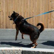 teaching your dog not to bark at other dogs and other responses while on leash.VERY IMPORTANT!!!