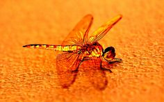 Dragonflies are expert fliers. They can fly straight up and down, hover like a helicopter and even mate mid-air. If they can't fly, they'll starve because they only eat prey they catch while flying.