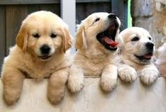 Funny Flix Video: Funny And Cute Golden Retriever Puppies Compilation - Funny Dog Videos Retriever Puppy, Dogs Golden Retriever, Golden Retrievers, Cute Puppies, Cute Dogs, Dogs And Puppies, Baby Dogs, Doggies, Puppy Care