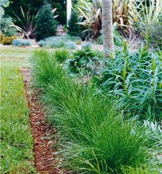 Lomandra confertifolia Keira - grows 30cm high x 40cm wide Spherical tuft. Ideal for around a pond.