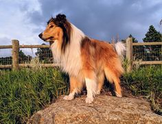 SCOTTISH COLLIE PRESERVATION SOCIETY is a 501 Non-Profit organization with clear goals working towards the preservation of the Classic Scottish Collie of the late standards. Scotch Collie, Sheltie, Livestock, Puppies, Puppys, Cubs, Doggies, Teacup Puppies