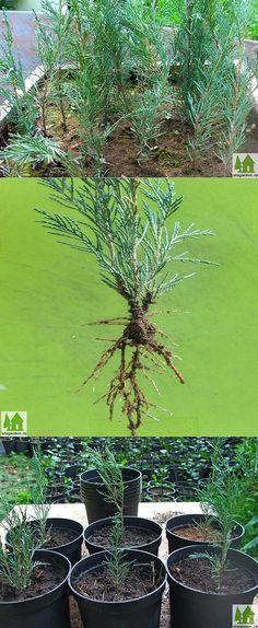 Укоренение черенков | Дачная жизнь - сад, огород, дача | Цветы | Постила