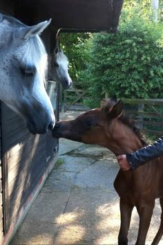 Sire greeting one of his foals.
