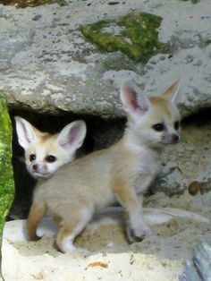 Baby Fennec Foxes are so adorbable