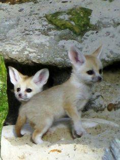 Baby Fennec Foxes are so adorbable