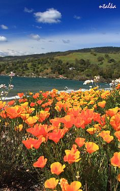 Clear Lake, California in the spring. California poppies are blooming...