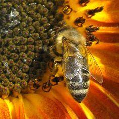 'Biene auf Sonnenblume - Bee on sunflower' von Linda Schilling bei artflakes.com als Poster oder Kunstdruck $16.63
