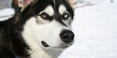 How to Become The Siberian Huskies Pack Leader - Online Dog Training