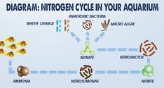 Have you ever wondered why you have to cycle your aquarium before you can add fish and corals? The reason you must cycle an aquarium is because it allows time for beneficial bacteria to grow inside your fish tank. Once these bacteria exist, a unique cycle begins which creates a more stable environment for fish and corals to safely inhabit. Check out our Nitrogen Cycle diagram and accompanying article to learn more.