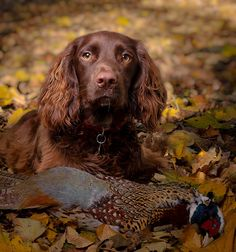 Its Mine! by Naffusername, Boykin Spaniel