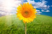 ESY-001972862 Single Sunflower Over Arched Horizon of Grass Field and Sky with Clouds and Sun Rays