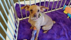 Meet Angel, a Petfinder adoptable Chihuahua Dog | Phoenix, AZ | Angel is a sweet 9 month old puppy. She is very loving and would be great in a home with kids.  She...
