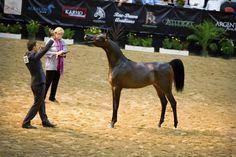 Arabian Horse - Pitonisa AS - Las Vegas - Arabian Breeders World Cup