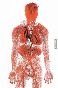 Model of the blood vessels in the human body.