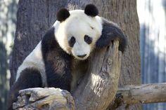 Mr Wu is quite the handsome teen panda.