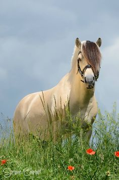 Simply stunning. - Norwegian Fjord horse - Horse Breed