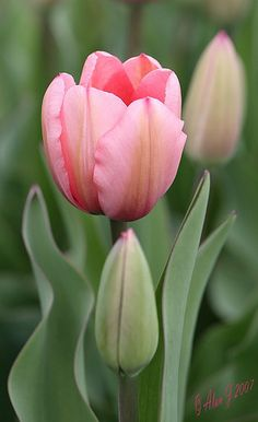 'Happy Mother's Day' Pink Tulip