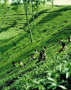 Sylhet Tea Garden,Bangladesh  For more Call: 01676500214 , 01962032456