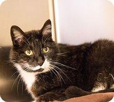 6 / 15 - Logan, UT - Domestic Shorthair. Meet Blacky, a cat for adoption. http://www.adoptapet.com/pet/12919724-logan-utah-cat