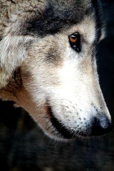 Arcelia wolf form