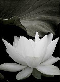 Black-and-white - White Lotus Flower