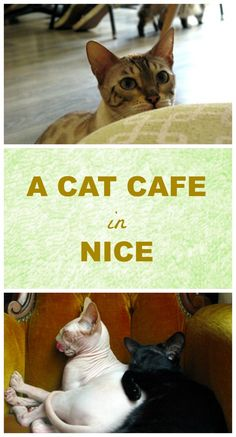 Things to do in NIce, France: A day at the cat café La Ronronnerie in Nice, France. Click through to read our story and to see 15 pictures of the cats and the café http://www.traveling-cats.com/2016/05/cats-from-nice-france.html