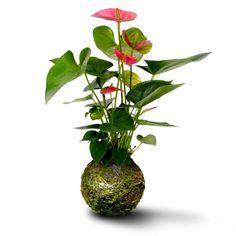 #kokedama (Green Ball) by Verdosea. Anthurium rosa.