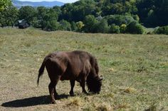 """Bison in """"Vânători"""" Natural Park from Neamț County, Romania. Natural Park, Romania, Animal Pictures, My Photos, Elephant, Africa, Horses, Bison, Nature"""
