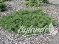 Hillside Creeper Scotch Pine - Pinus sylvestris 'Hillside Creeper' | Bylands Nurseries Ltd.