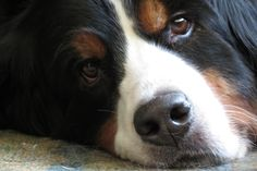 Bernese Mountain Dog - what a baby