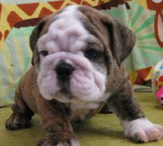 Mini bulldog San Francisco.