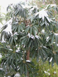 Schefflera taiwaniana in the snow