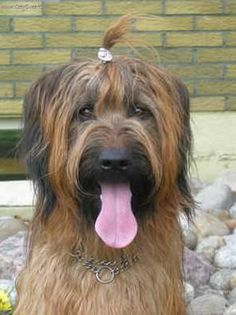 The Briard (pronounced /briːɑrd/) is an ancient breed of large herding dog, originally from France.