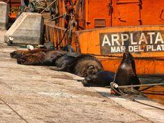 Lobos marinos en la banquina de pescadores en el Puerto de Mar del PLata, Argentina