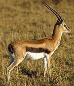 Antilopinae - Wikipedia