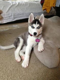 Siberian Husky Dogs Nymeria thinks she's the most interesting husky in the world - Post with 0 votes and 2678 views. Nymeria thinks she's the most interesting husky in the world Cute Husky Puppies, Siberian Husky Puppies, Rottweiler Puppies, Husky Puppy, Siberian Huskies, Huskies Puppies, Baby Huskies, Funny Puppies, Lab Puppies