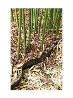 Bamboo Basics With proper know-how and vigilance, you can grow and tame this beautiful, trendy plant.