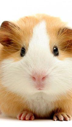 Guinea-Pig-Rodent moment love. Wild Fauna Love