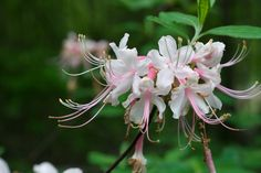 Rhododendron canescens Species from southeastern North America with disjunct populations in southeastern Pennsylvania and in the… North America, Flowers, Plants, Instagram, Pennsylvania, Cape, Garden Ideas, Gardening, Google Search