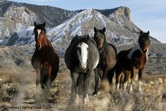 End Helicopter Roundups in Colorado HMA - American Wild Horse Preservation Campaign