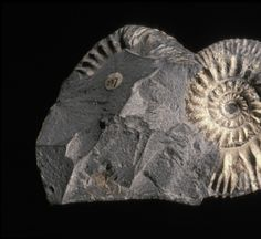 Fossil ammonite, Xenostephanus aff. anceps, from the Upper Jurassic of Eathie Haven, Ross and Cromarty, Scotland