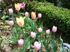 The Tulips in my garden, South Korea