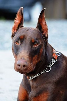 Cross between a Doberman Pinscher, American Staffordshire