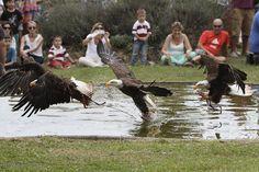 Águila calva  en el parque de la naturaleza de #Cabarceno #Cantabria #Spain