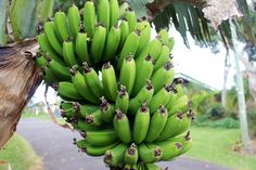 Using natamycin for preventing fungal growth in banana crops - Natamycin