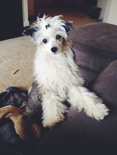5 month old chinese crested powder puff